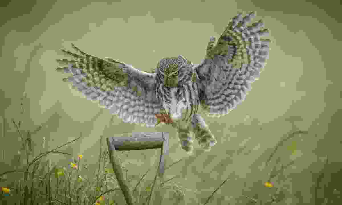 A little owl about to perch on a shovel (Dreamstime)