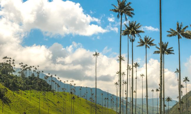 Unique wax palm trees of Cocora Valley (Dreamstime)