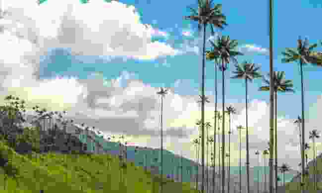 Unique wax palm trees of Cocora Valley (Dreamstime)