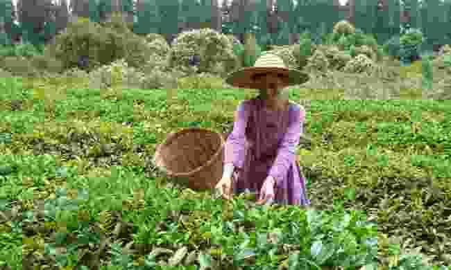 Picking tea in Guria (Helen Moat)
