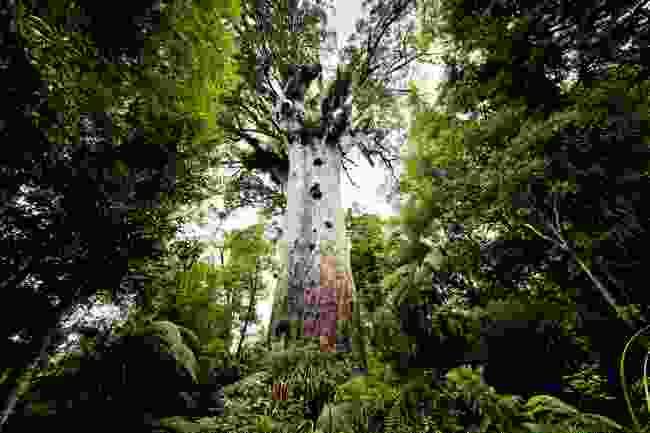 Tāne Mahuta, a big kauri tree in the Waipoua forest, New Zealand (Shutterstock)