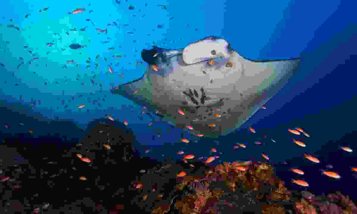 Manta ray getting cleaned (Shutterstock)