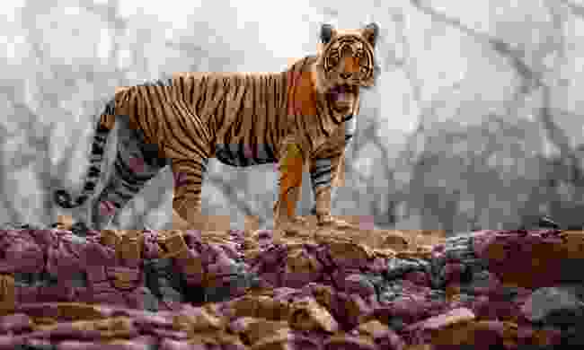 Male tiger standing on the rocky cliff in Rajasthan (Shutterstock)
