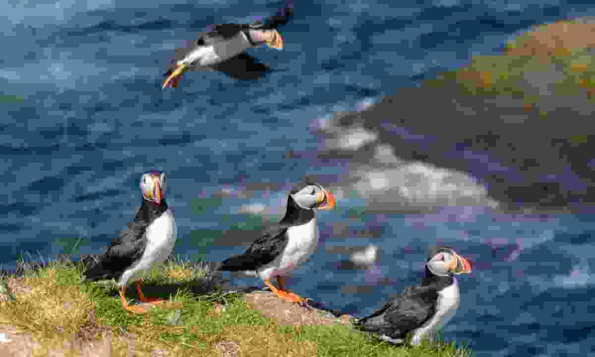Spot puffins on Handa Island (Dreamstime)