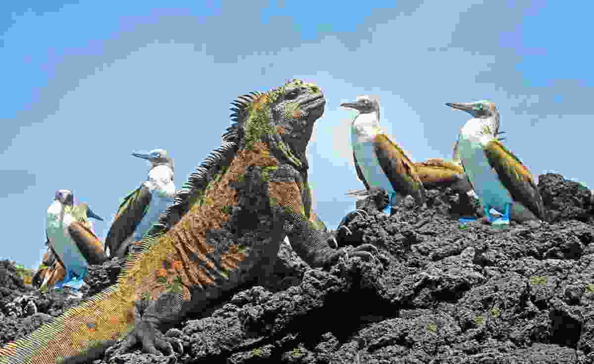 Marine Iguana with blue-footed boobies on Isabela Island, Galápagos, Ecuador (Dreamstime)