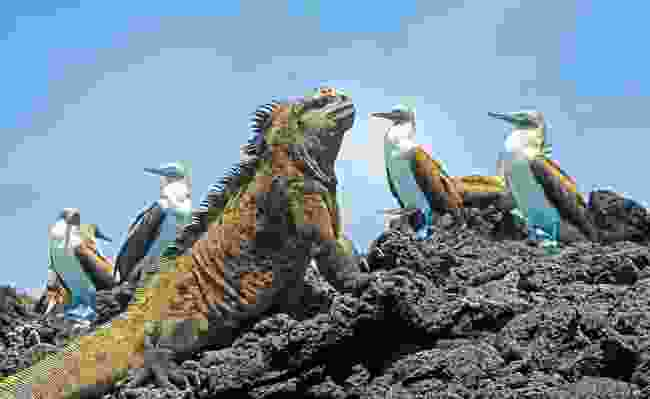Marine Iguana with blue-footed boobies on Isabela Island, Galápagos, Ecuador (Dreamstime)