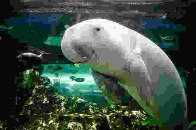 A dugong (Shutterstock)