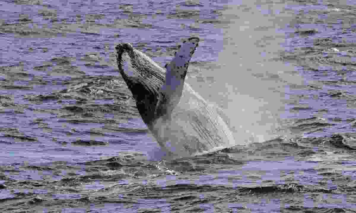 Humpback whale (Dreamstime)