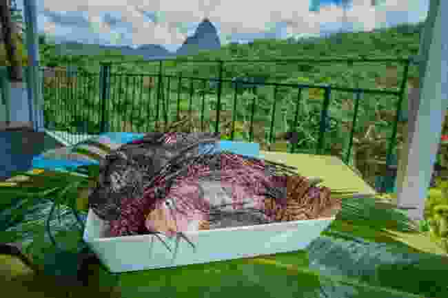 Catch and sample lionfish in St Lucia (Jade Mountain)