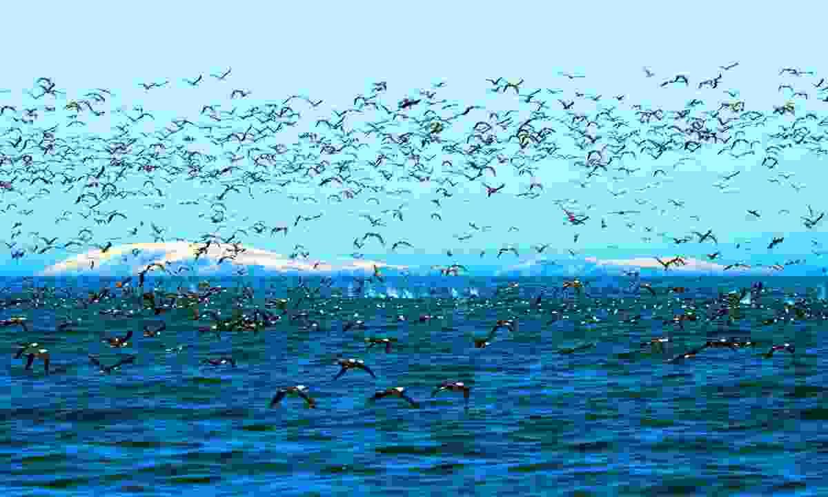 Cormorants and Boobies plunge diving shoals of anchovies, Punta San Juan, Peru (Gavin Thurston/Silverback/Netflix)