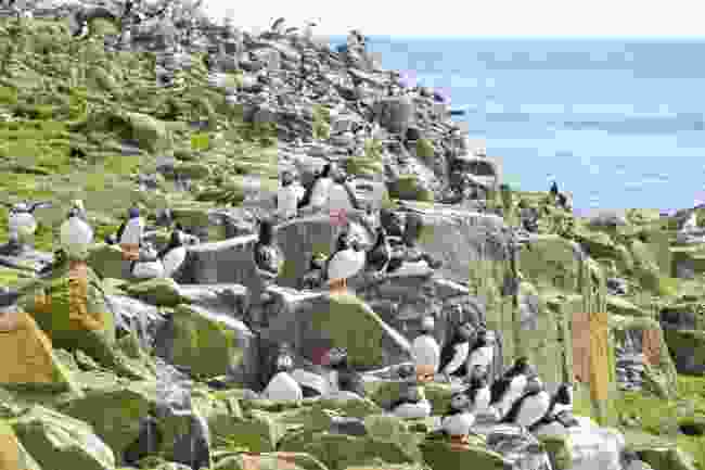 A colony of puffins on the Farne Islands, Northumberland (Shutterstock)