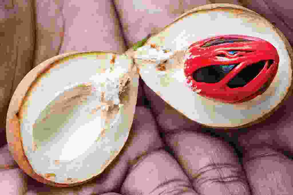 A split nutmeg fruit showing the red mace and brown nutmeg (Alex Robinson)