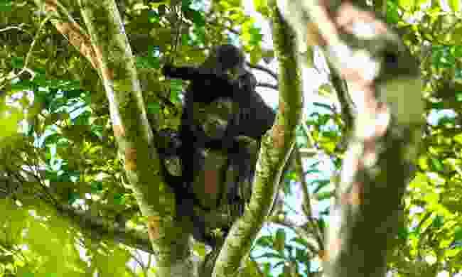 Howler monkey on Ometepe Island (Shutterstock)