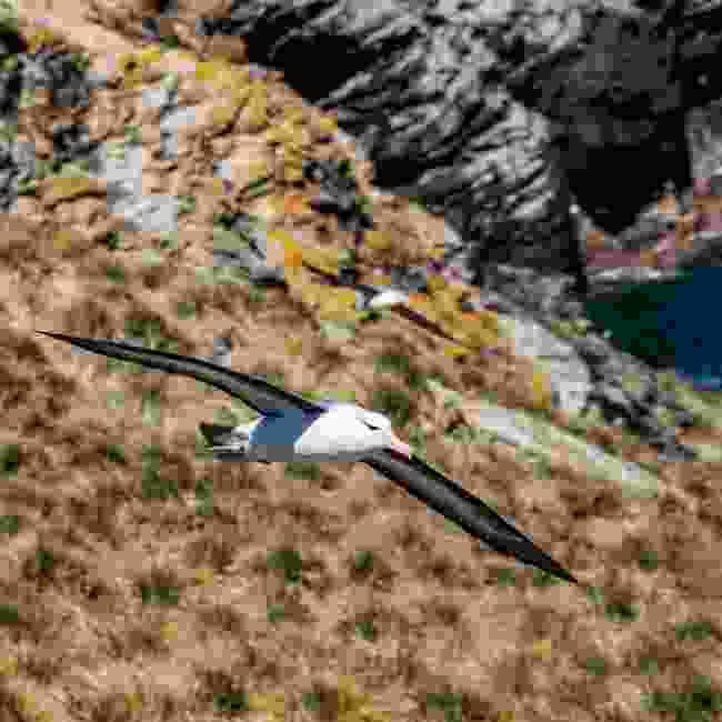 Black-browed albatross flying through the Falkland Islands (Shutterstock)
