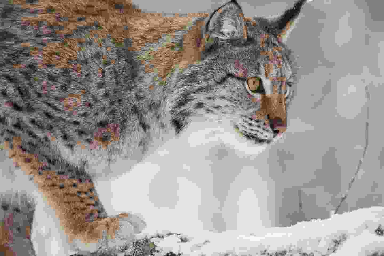 Lynx on patrol in Swedish Lapland (Shutterstock)