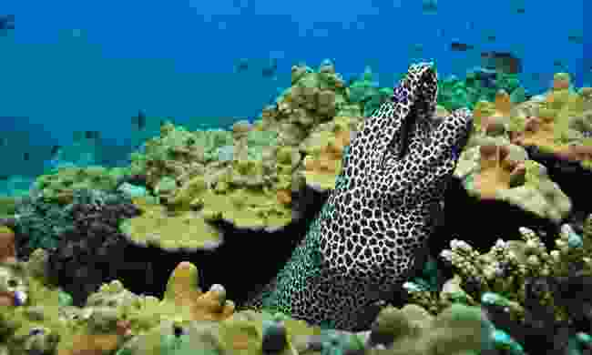 Find honeycomb moray eels amongst the coral in Oman (Shutterstock)