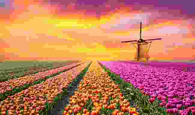 Holland has burst into colour in an attempt to save its flower industry (Shutterstock)