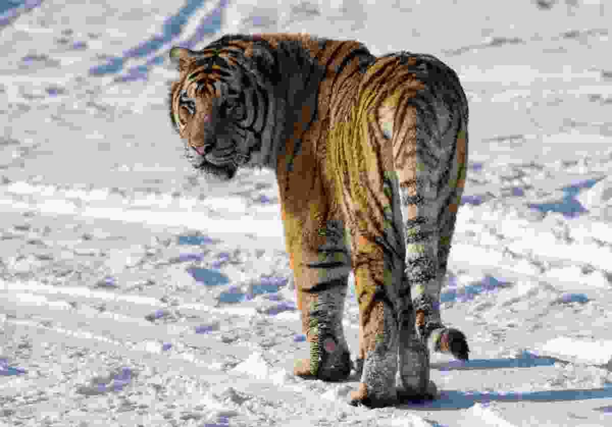 Siberian tiger (Dreamstime)