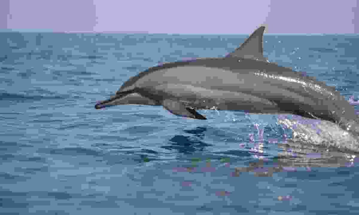 Spinner dolphin (Gehan de Silva Wijeyeratne)