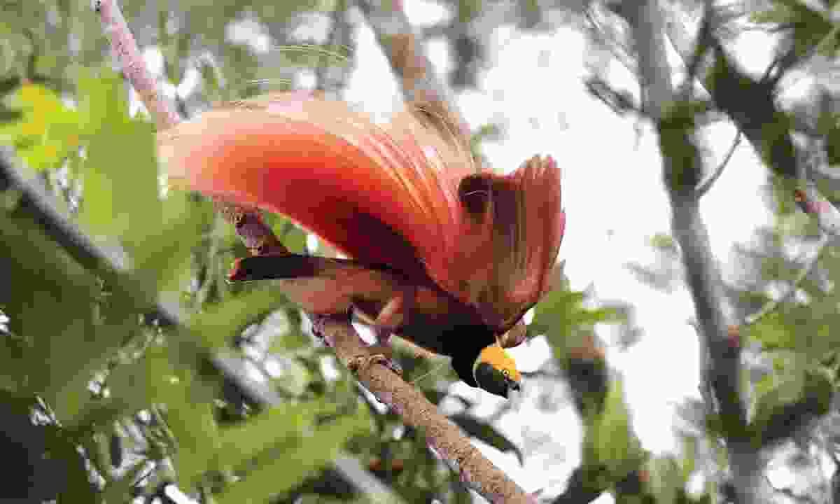 Raggiana bird of paradise in Varirata National Park (Brian Coates)