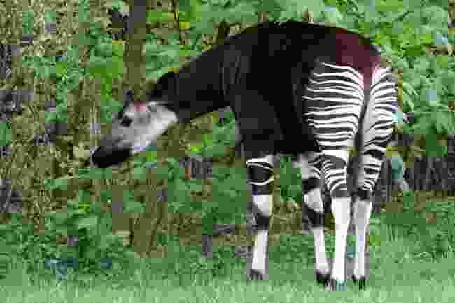 Okapi (Shutterstock)