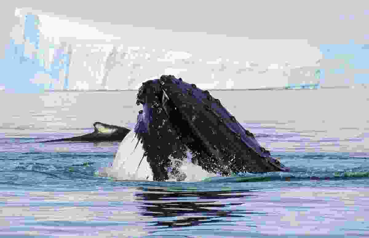 Humpback whale head, showing on the dive, Antarctic Peninsula (Dreamstime)
