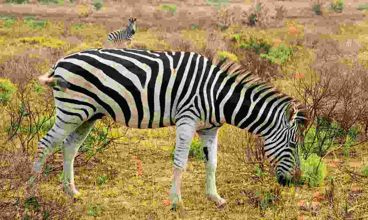 Zebra roam the scrub of iSimangaliso (Paul Bloomfield)