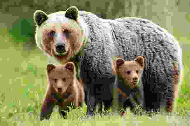 A brown bear with cubs (Shutterstock)