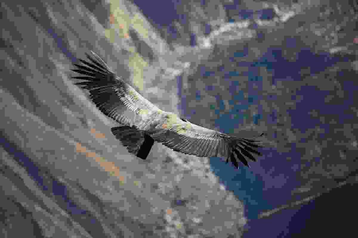 Condor flying over Colca Canyon, Peru, at dawn (Graeme Green)