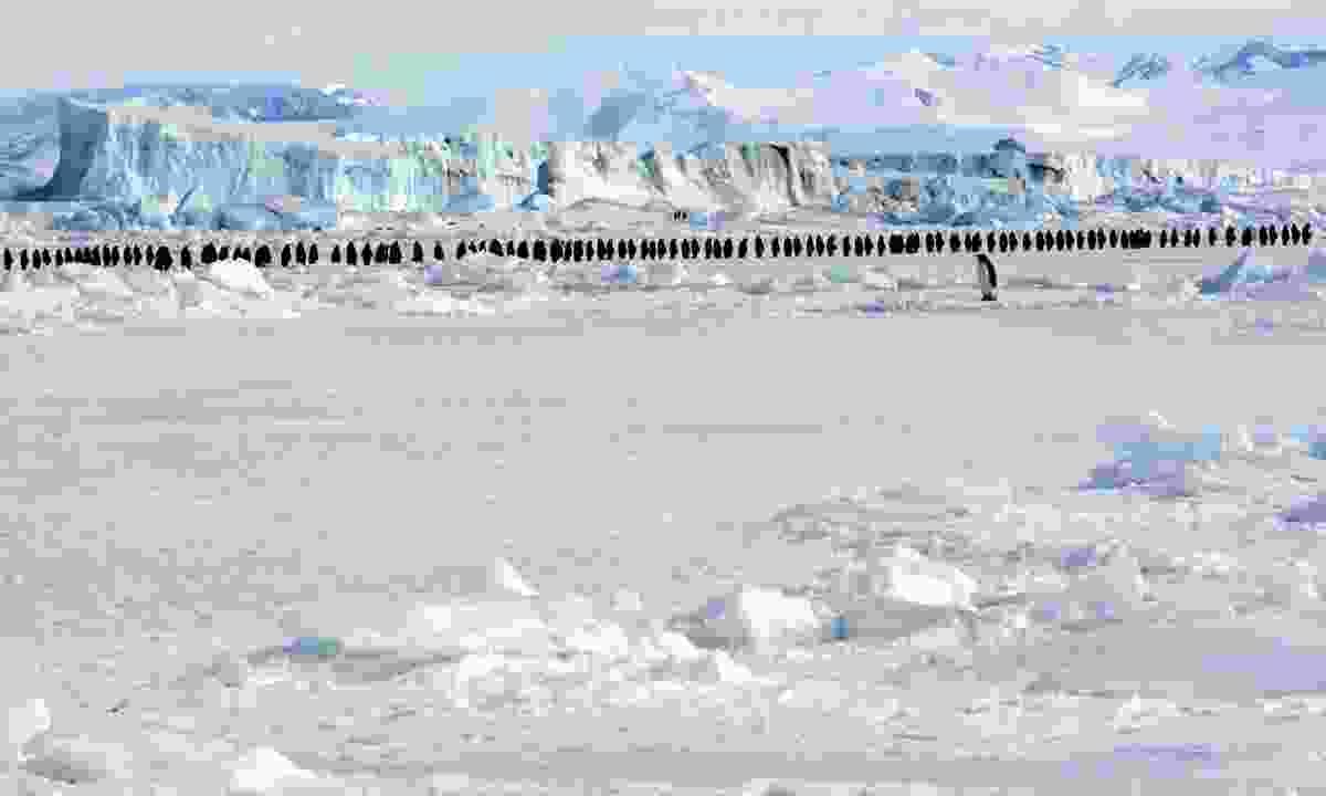 Marching penguins (Dreamstime)