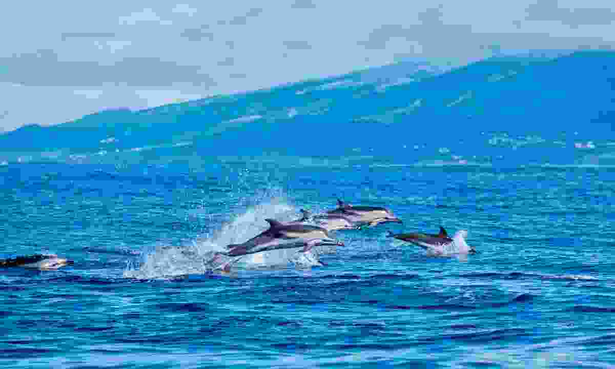 Atlantic striped dolphins near the coast of Pico Island (Dreamstimes)