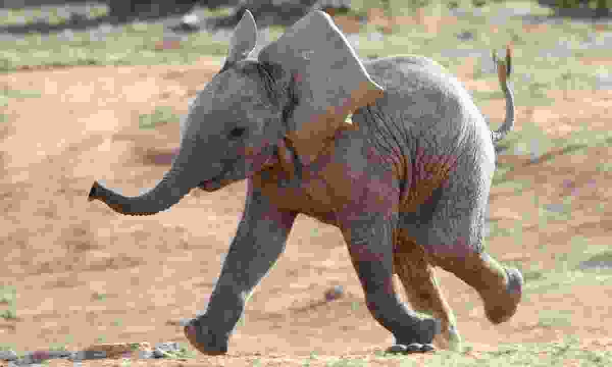 A baby African elephant running (Dreamstime)