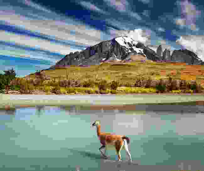 Guanaco crossing the river in Torres del Paine National Park (Dreamstime)
