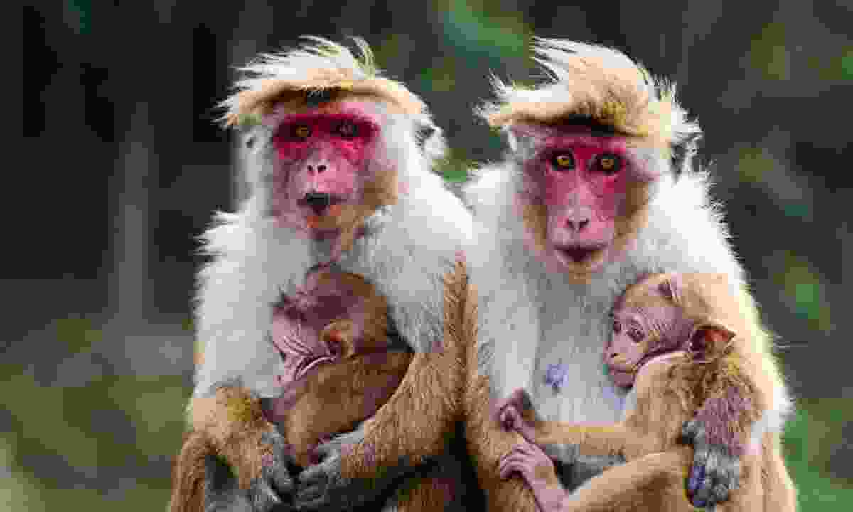 A family of monkeys (Dreamstime)