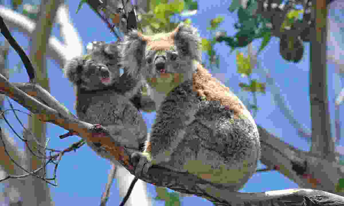 Koalas along the Great Ocean Road (Shutterstock)