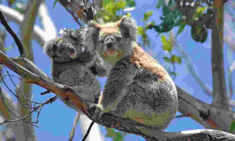 Koalas along the Great Ocean Road (Shutterstock)