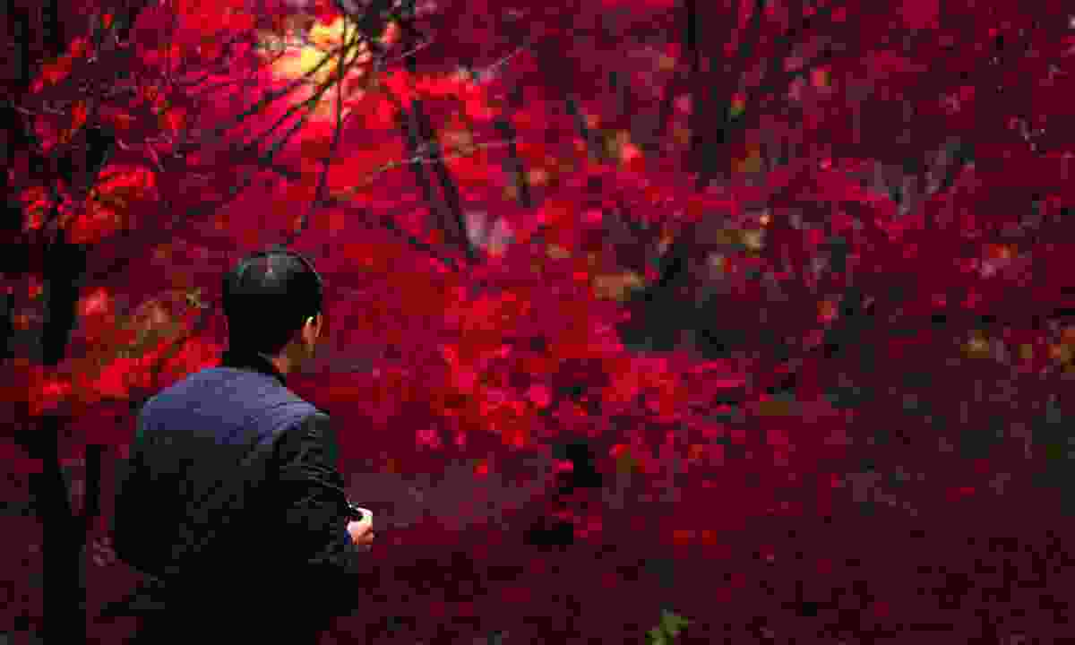 A visitor admiring the deep red foliage at Winkworth Arboretum (Shutterstock)