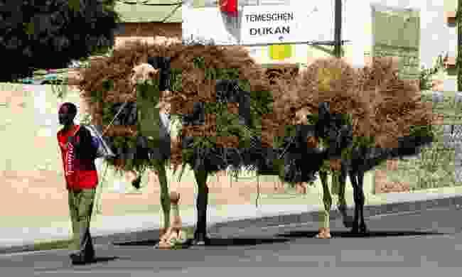 Off to the camel market in Keren (Shutterstock)