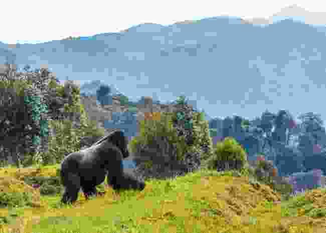 Mountain gorilla, Rwanda (Daryl Balfour)