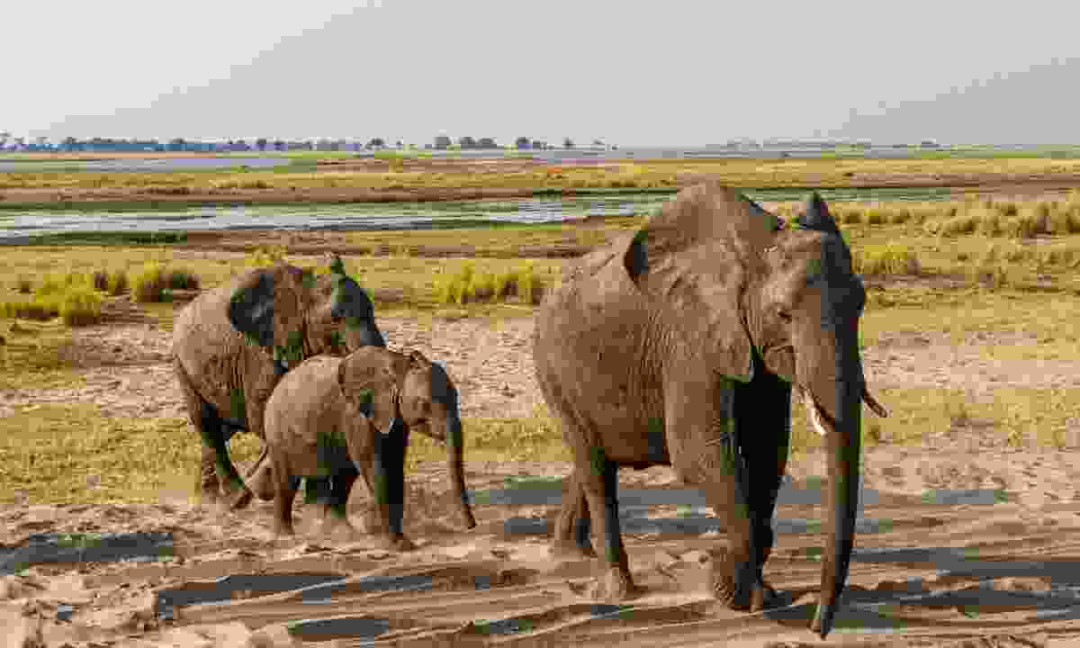 Elephants in Botswana (Dreamstime)