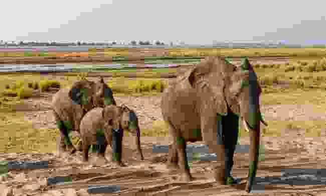 Elephants in Botswana (Dreamstime)