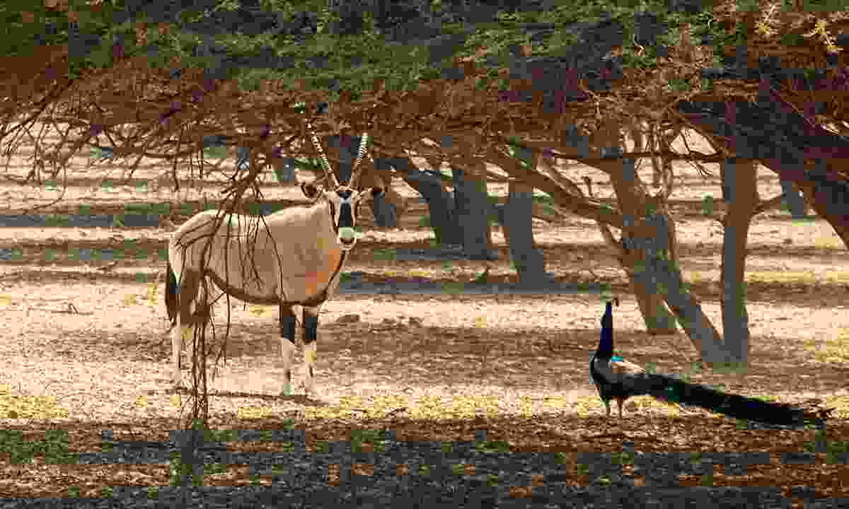 Arabian oryx (Dreamstime)