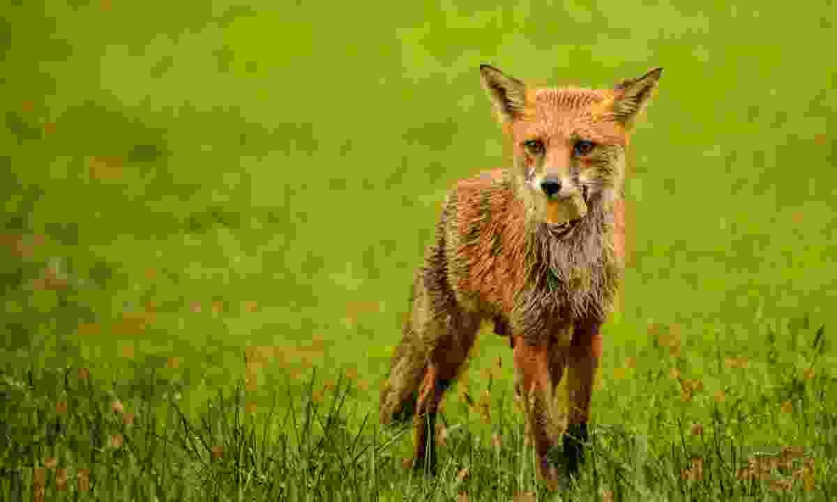 A fox in Wales (Dreamstime)
