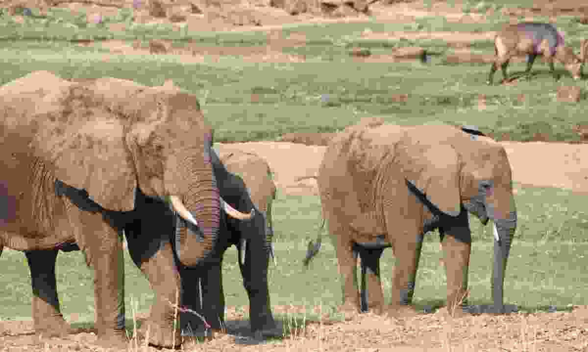 Elephants in Ruaha National Park (Dreamstime)