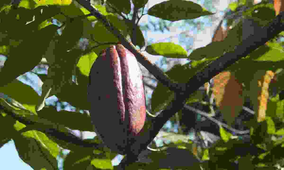 Cocoa bean (Simon Chubb)