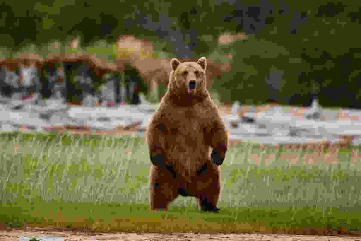 Brown bear, Katmai National Park, Alaska (Art Wolfe)