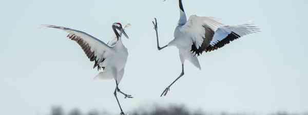 Cranes in Hokkaido (Ray Hems)