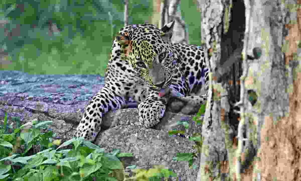 Lounging leopard in Sri Lanka (Shutterstock)