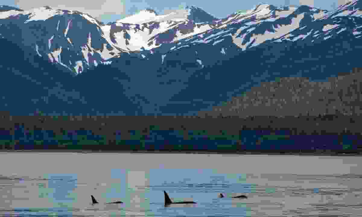 A family of orcas in Alaska (Shutterstock)