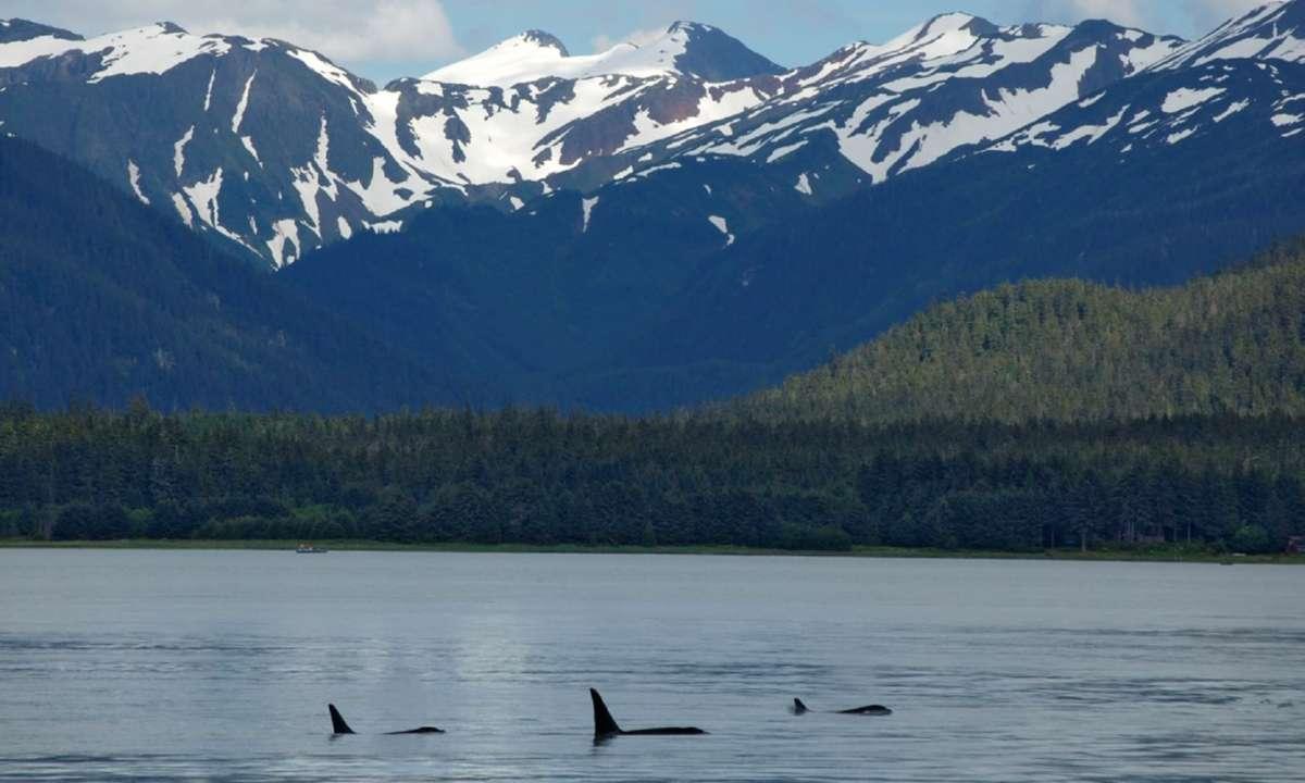 A family of orcas in Alaska (Shutterstock)